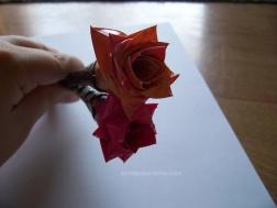 rose sandpaperdaisy 10